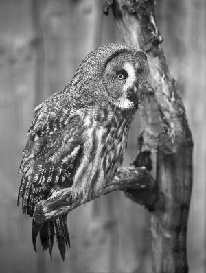 Great Grew Owl BW
