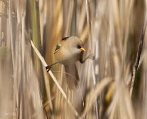 Bearded Tit 1
