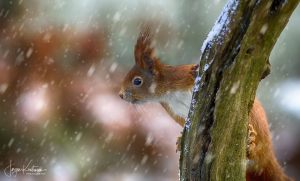 Squirrel 11 in Snow - FIAP diplom