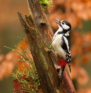 Spotted-Woodpecker
